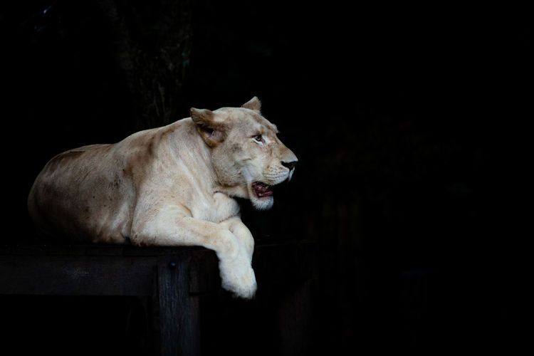 One Animal Animal Lion - Feline Animal Wildlife No People Copy Space Domestic Animals Black Background Lioness Vertebrate Relaxation Female Animal Looking Animal Head  Profile View White Color White Tiger EyeEmNewHere