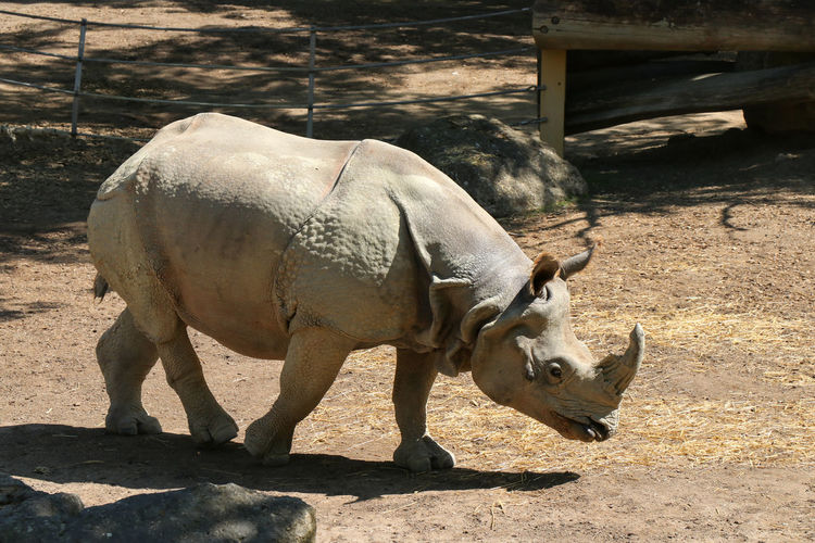 rhinoceros in zoo Animal Animal Themes Sunlight Vertebrate Mammal Shadow One Animal Nature Domestic Animals Animal Wildlife Day No People Livestock Pets Domestic Horned Field Standing Sunny Land Herbivorous Outdoors Zoo Rhinoceros