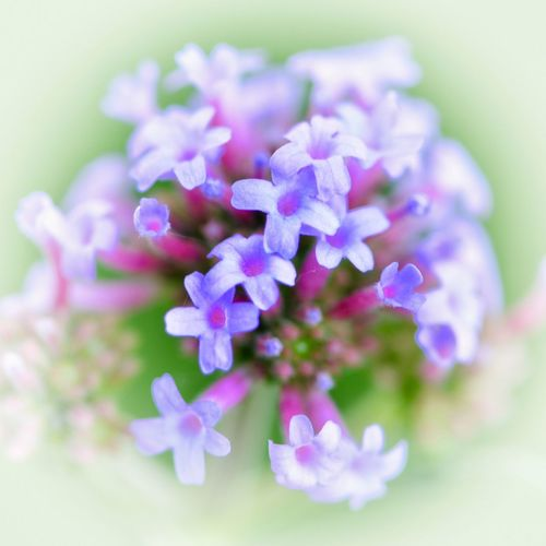 """Dream Bouquet"" Verbena Bonariensis Artistic Photography Artistic Photo Artistic Expression Artistic Photo Dreamlike Macro Flowers Macro Flower Macro Nature Macro Macro Photography Flower Flowering Plant Vulnerability  Plant Fragility Freshness Beauty In Nature Close-up Selective Focus No People Nature Flower Head Petal Purple Focus On Foreground Day Outdoors"