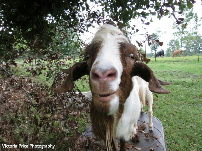I told him to smile and he did this 😂 Goober Goats Goatlife You Wish This Was Yours  Enjoying Life That Smile