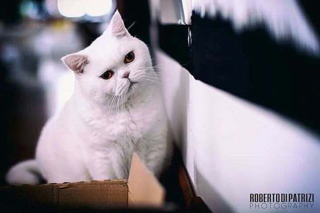 Cat Cats Cat♡ Cat Lovers Cats 🐱 Catlovers Catlover Britishshorthair Cat Eyes Pets Pet Pet Photography  Cat Watching Pet Portrait Pet Love Petlover Petlovers Kitten 🐱 Kitty Cat Kittenoftheday Kitten Love Britishshorthaired Kitten Kittens Hello Kitty