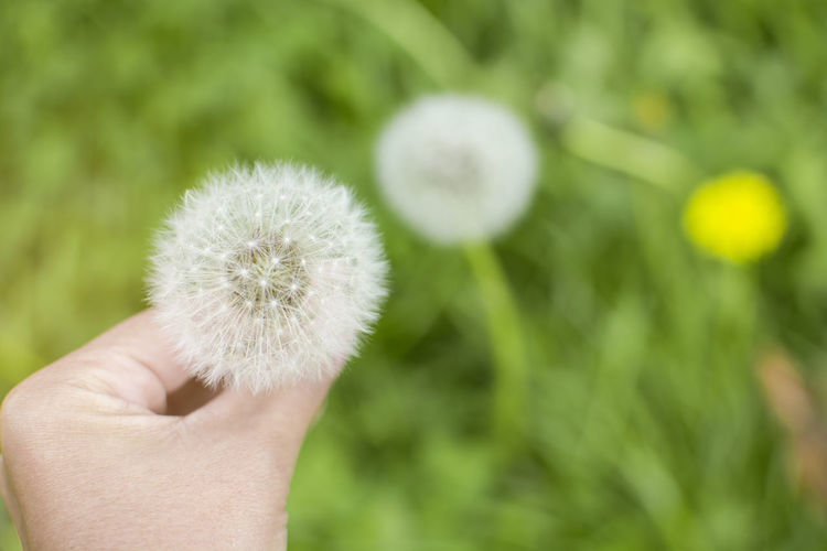 Soft focus Top view of woman holding seed of dandelion Dandelion Seed Human Hand Human Body Part Flower Holding Plant One Person Body Part Flowering Plant Freshness Fragility Vulnerability  Nature Human Finger Flower Head Softness Finger Woman Nature Yellow Pretty Green Park