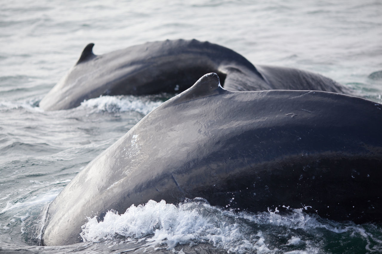 Humpback whales diving in sea