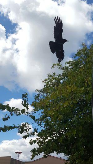 Raven Raven Flying Outside Outdoor Photography Avian Bird EyeEm Nature Lover
