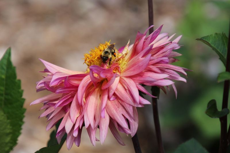 Beauty In Nature Pink Flower Dahlia With Bee Attached Focus On Foreground