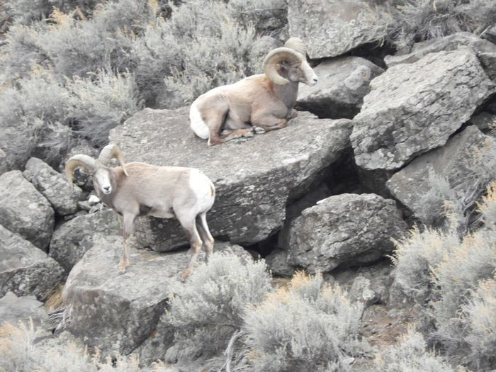 Big Horn Sheep United States USA New Mexico Sheep Animal Themes Dog Mammal Animals In The Wild Domestic Animals No People Outdoors Animal Wildlife Nature Day