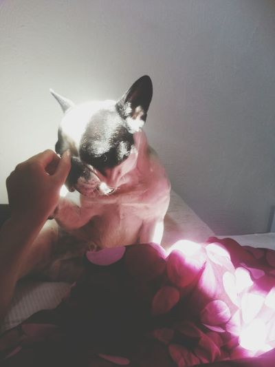 Ilovemydog Frenchbulldog Bestfriend Goodmorning Sunny Day Doglife Bulldog Love Inthebed Taking Photos