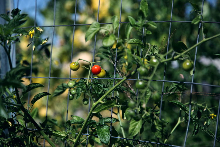 Close-up of tomatoes growing on plant by fence