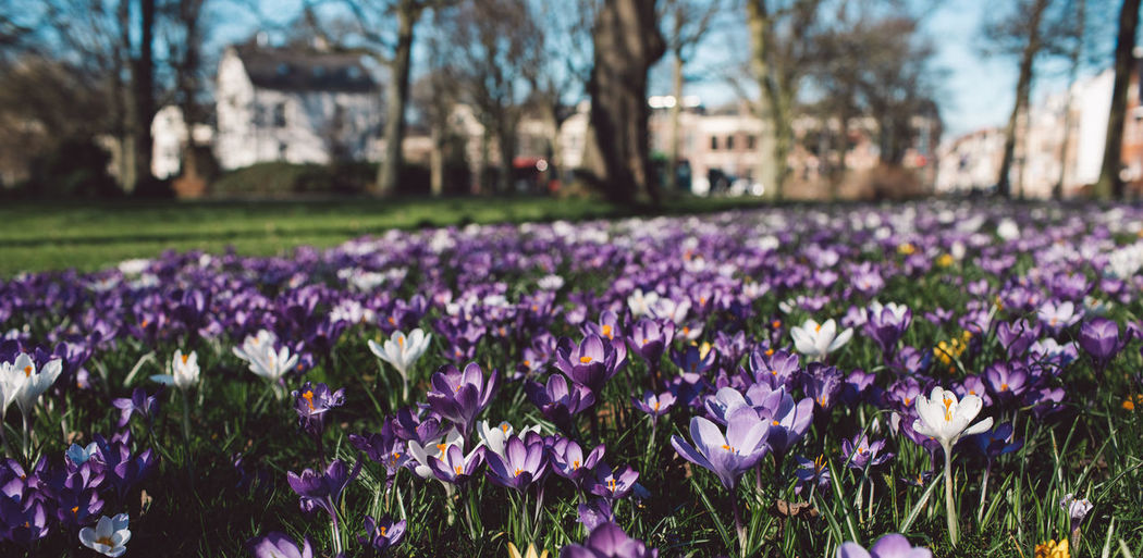 Crocus Flower Crocus Plant Flower Flowering Plant Freshness Purple Beauty In Nature Vulnerability  Growth Fragility Nature Field Land No People Day Focus On Foreground Park Petal Close-up Tree Iris Outdoors Springtime Flower Head Flowerbed Springtime Decadence