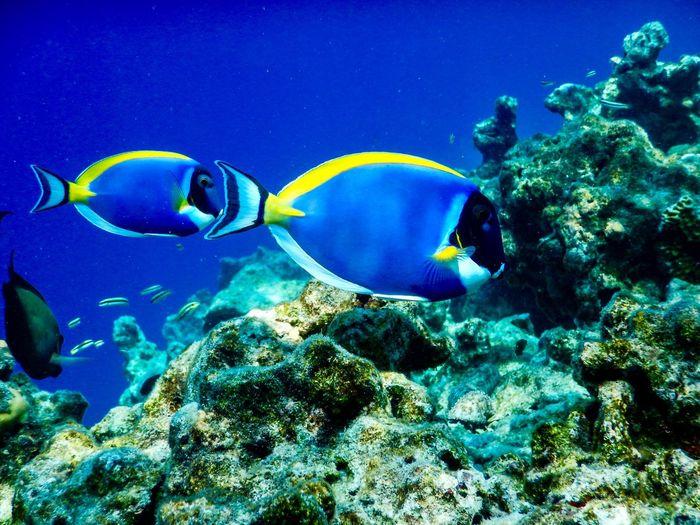 Surgeonfish Dory Underwater Sea Water Animals In The Wild Animal Wildlife Animal Themes Animal Sea Life Swimming UnderSea Fish Group Of Animals Ecosystem  Beauty In Nature Marine
