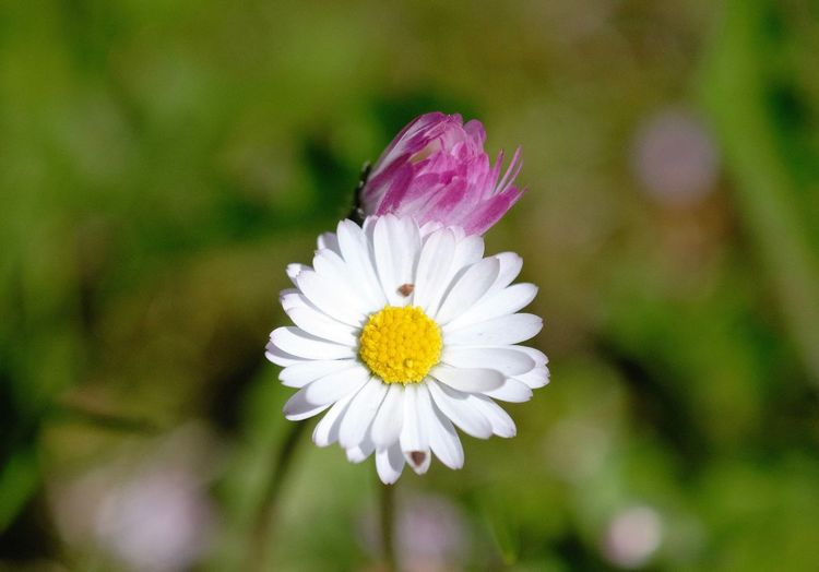 Analoglens Flower Petal Nature Close-up White Color Pink Color Outdoors Daisy Pollen Focus On Foreground Inmygarden