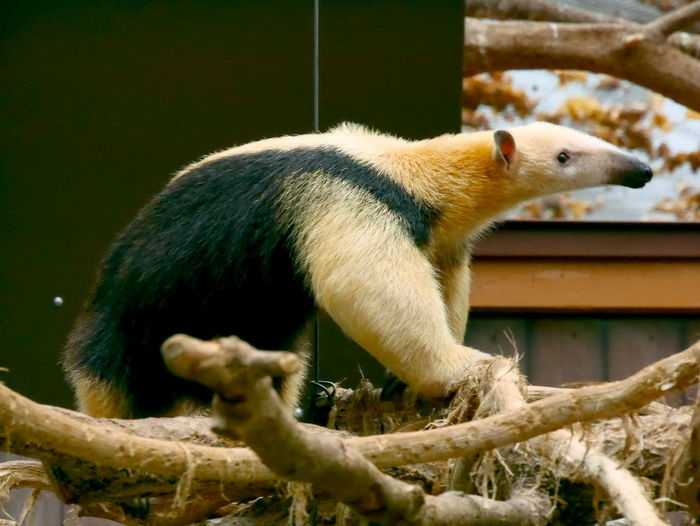 Japan EyeEm Selects One Animal Animal Wildlife Animal Mammal Animals In The Wild Animal Themes No People Cute Nature Close-up Pets Outdoors Day Red Panda EyeEmNewHere