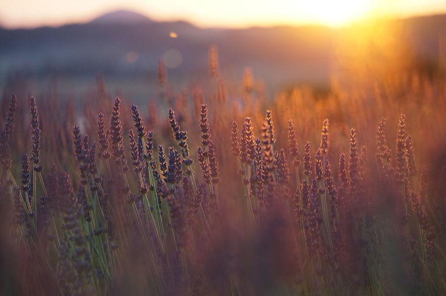 Les couleurs de la Provence 1 Beauty In Nature Couleurs De La Provence Field France Idyllic Lavender Magicoflight Provence Selective Focus Sunset The Essence Of Summer- 2016 EyeEm Awards