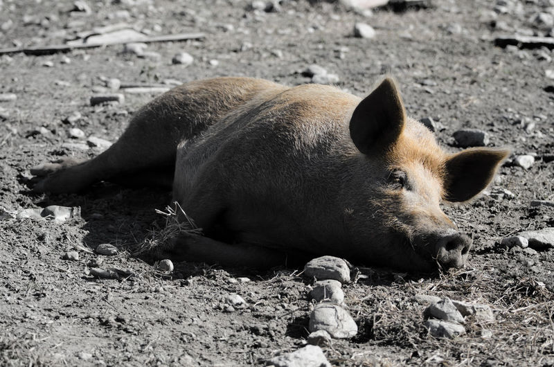 Wild boar lying on ground