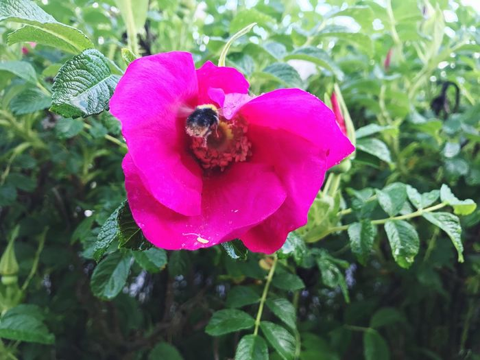 Close-up of bee on pink flower blooming outdoors
