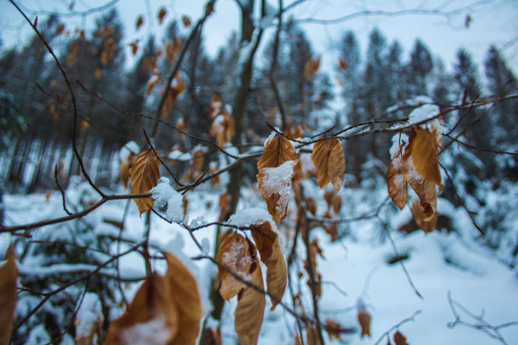 Close-up of dry leaves on snow covered land