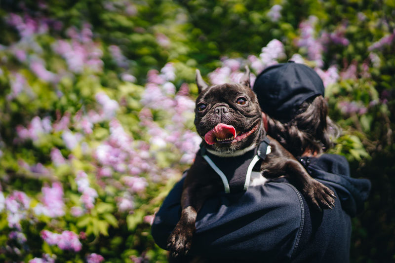 Man with french bulldog dog against lilac flowers