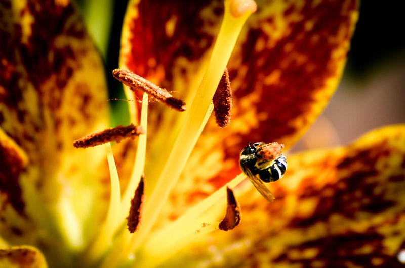 Insect Animals In The Wild Nature Close-up No People Outdoors Beauty In Nature Bee 🐝 Flowers Lillies Lily St. Paul