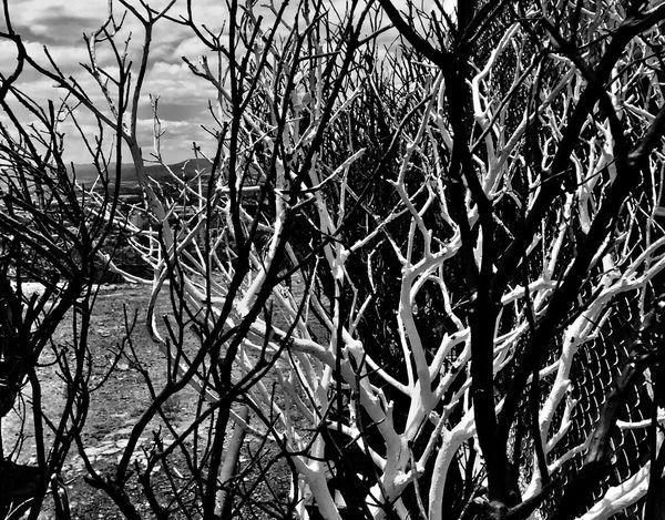 Ramas! Branches Monochrome Alfredbass