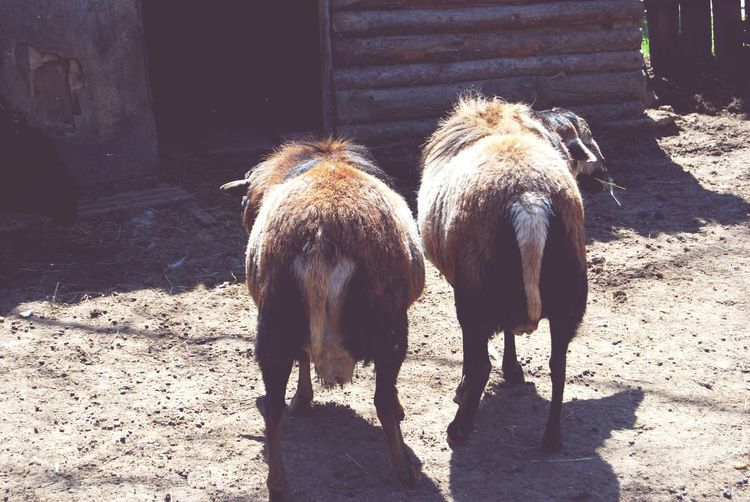 Animal Themes Mammal Domestic Animals Outdoors Sunlight Shadow Livestock Day Nature No People Pets Togetherness Sheap Shawn The Sheep Two Sheap Ukraine 💙💛