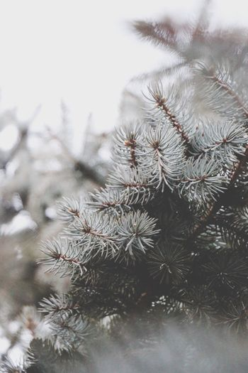 Nature Winter Pine Tree Close-up Branch Outdoors Cold Temperature Tree Needle - Plant Part Growth Scenics Day Sky Beauty In Nature Canonphotography Newyork Beauty Traveling Home For The Holidays Shades Of Winter