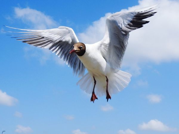 Flying Bird Spread Wings Animal Themes Animals In The Wild Sky Mid-air Low Angle View One Animal Animal Wildlife No People Cloud - Sky Day Outdoors Black-headed Gull Nature