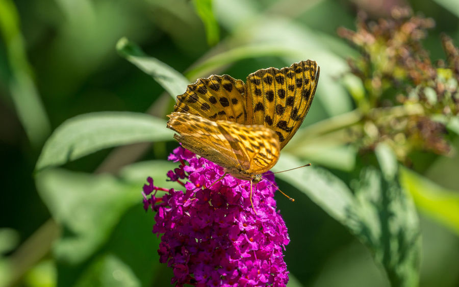 Close-up of a beautiful Orange Silver-washed fritillary (Argynnis paphia) Butterfly on a purple Flower in the Summertime. Proboscis Argynnis Argynnis Paphia Silver-washed Fritillary Summertime Sunlight Animal Wing Butterfly Butterfly - Insect Close-up Flower Flowering Plant Fragile Beauty Fragility Freshness Germany Growth Insect Invertebrate No People Orange Color Plant Pollination Purple Color Purple Flower Vulnerability
