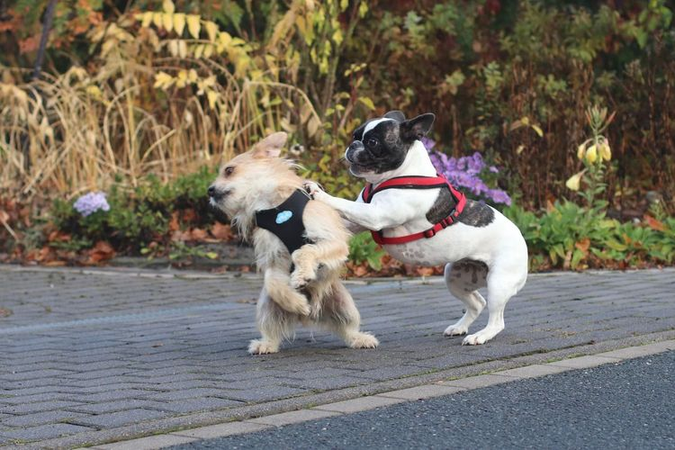 Dogs Playing On Footpath