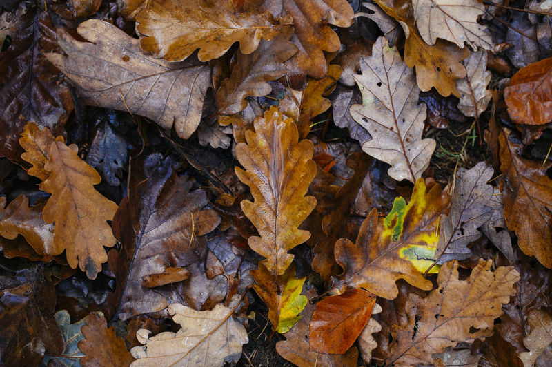 High angle view of fallen maple leaves