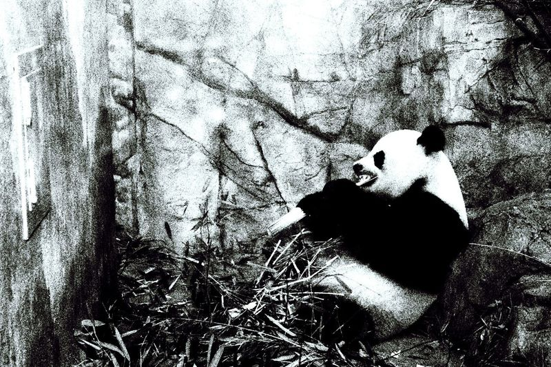One Person Day Real People Outdoors Nature People Panda Panda Bear Panda - Animal Pandatwist Pandaparty Pandaexpress Pandas♥ Close-up Animals In The Wild Animal Themes Beauty In Nature Nature