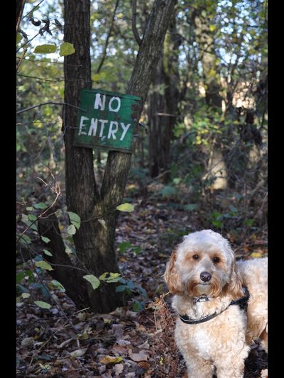 Rebel rebel Walkies Ameturephotographer Cockapoo Dog Text Pets Communication No People Day Forest Tree Outdoors Domestic Animals Animal Themes Nature Mammal