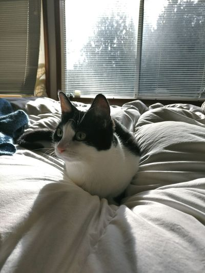 The Cat on the Quilt Cat Animal Kitty Meow Eyes Light Pet Black And White Cat Eyes Catsoftheworld Purr Purrfect
