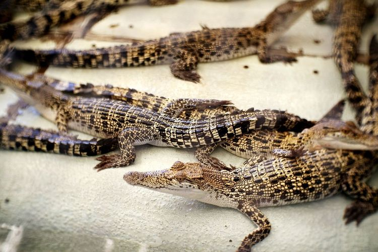 Close-up portrait of crocodile