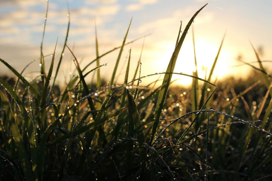 Growth Nature Grass Field Sunset Plant Close-up No People Outdoors Sky Beauty In Nature Day Morning Dew Morning Dew On Tip Of Leaf Morning Dew On Leaf Rocío Point Of View