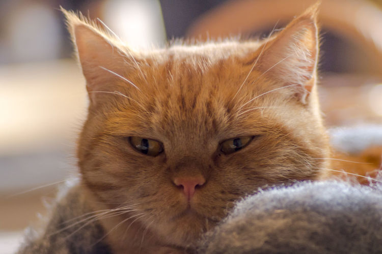 Cat Domestic Cat Animal Mammal Animal Themes Domestic Feline One Animal Pets Domestic Animals Close-up Whisker Portrait Vertebrate Looking At Camera No People Relaxation Focus On Foreground Animal Body Part Animal Head  Ginger Cat Animal Eye