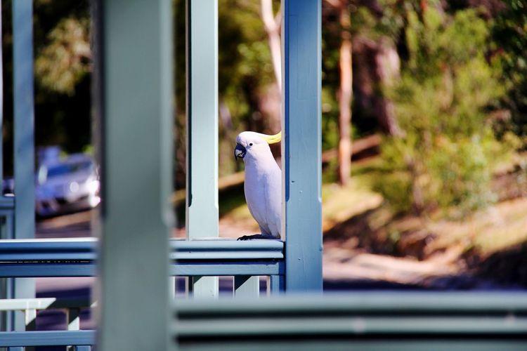 Sulphur crested cockatoo perching on railing
