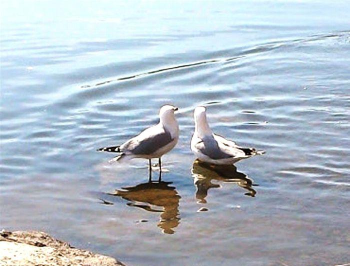 Gulls Water