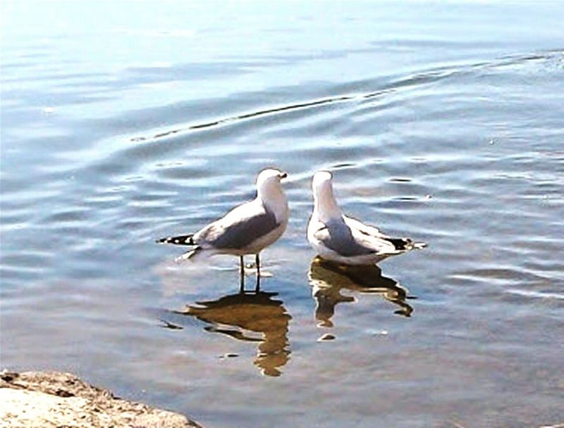 Gulls Water Reflections Birds_collection Swirls Two Is Better Than One Still Rock Partners Love At First Site