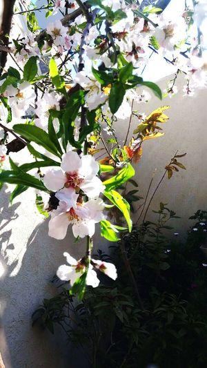 Almond Tree Almond Tree Blossom Spring Spring Flowers Sun
