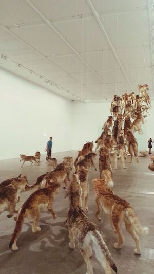 Falling back to Earth Cai Guo-qiang Goma Gallery Of Modern Art Brisbane WOlves Taxidermy Art