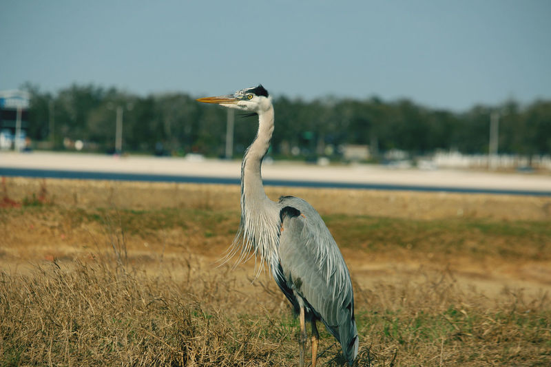 Close-up of gray heron on field