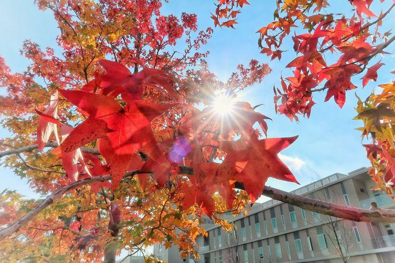 秋 モミジバフウ もみじ 紅葉 🍁🍂autumn Autumn Colored Leaves 秋空 朱色 太陽 日差し Abstract Full Frame Red Sky Clear Sky Beauty In Nature Autumn Leafs Nature Naturelovers Beautiful Nature EyeEm Nature Lover Lens Flare Sunbeam Sun