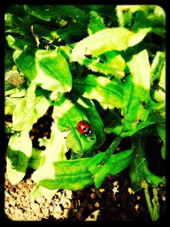 Coccinelle Beatle Macro Nature