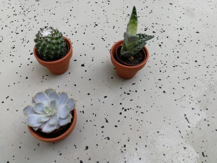 Home Garden Succulent Plants Succulents SucculentsLover Close-up Day Home Gardening Indoors  Nature No People Plant Succulent Plant