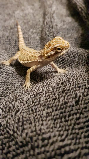 Reptile One Animal Animals In The Wild Lizard Animal Themes Animal Wildlife Day Bearded Dragon No People Nature Outdoors Close-up Pogona