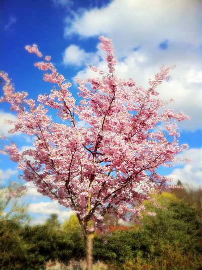 Tree Sky Beauty In Nature Cloud - Sky Flower Nature Blossom Pink Color Day Springtime Growth Low Angle View Fragility Freshness No People Outdoors Tranquility Branch Scenics Close-up Beauty In Nature Bad Krozingen Scenery