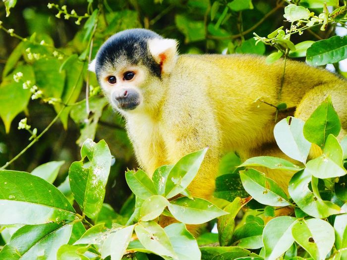 Yellow Monkey in the Jungle Rurrenabaque Selva Little Cute Yellow Monkey Jungle Bolivia Monkey Leaf One Animal Plant Part Animal Themes Animals In The Wild Animal Vertebrate Animal Wildlife Plant No People Green Color Nature Day Mammal Close-up Outdoors Looking Away Tree Looking