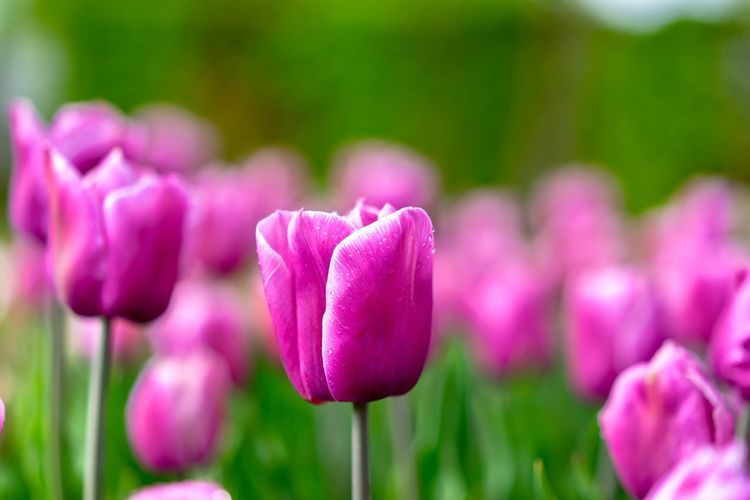Tears of a flower Summer Hello World Bestoftheday First Eyeem Photo Waterdrops Pink Blumen Flower Plant Flowering Plant Freshness Pink Color Beauty In Nature Vulnerability  Growth Fragility Close-up Inflorescence Flower Head Focus On Foreground Nature No People Tulip Purple Land Field