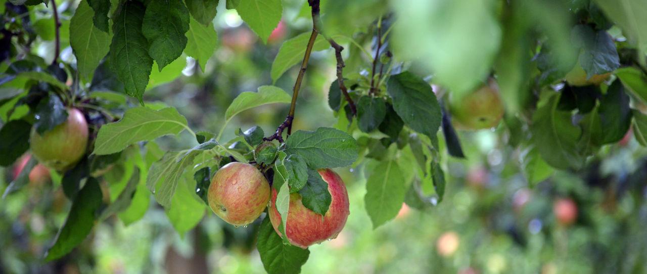 Apple Orchard Apple Tree Apple Trees Garden Apples Autumn Grass Harvest Morning October Rain Raindrops Shallow DOF Shallow Fod Waterdrop
