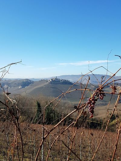 Nature Outdoors No People Sky Plant Beauty In Nature Day Tree Close-up Castiglione Falletto Vineyards In Autumn Travel Destinations Autumn Agriculture Tranquility Rural Scene Clear Sky Langhe Vineyards Landscape Grapes Piedmont Hills, Mountains, Sky, Clouds, Sun, River, Limpid, Blue, Earth Beauty In Nature Growth EyeEmNewHere